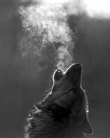 La louve noire