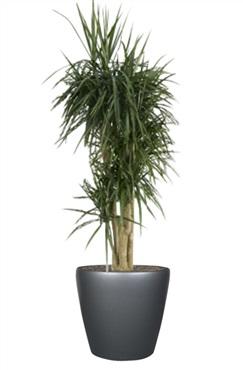 Deco plante location vente et entretien de plantes et fleurs naturelles ou artificielles l - Entretien dracaena marginata ...